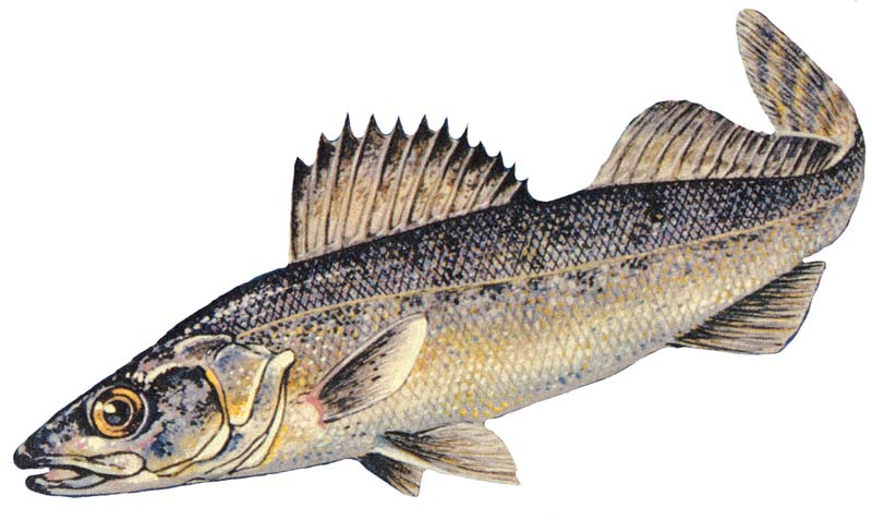 walleye fishing introduction