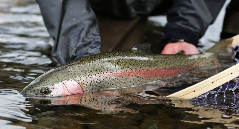 how big do rainbow trout get