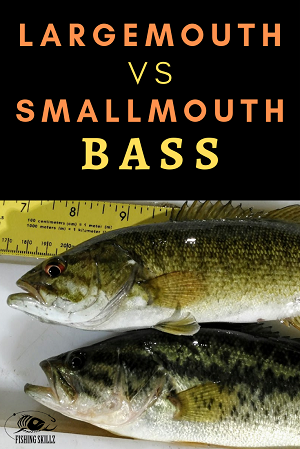 largemouth  bass and smallmouth bass lying on a table