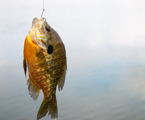 10 All Time Best Baits (And Lures) For Bluegill