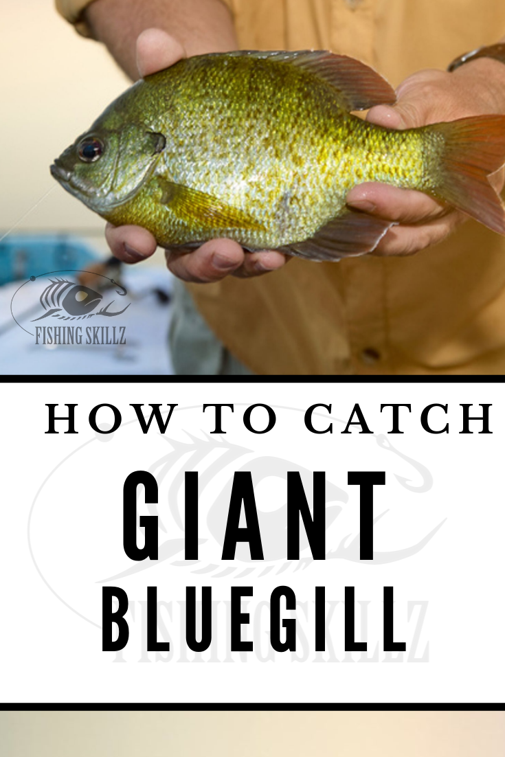 how to catch huge bluegill fish