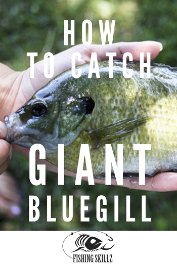 giant bluegill held in a hand