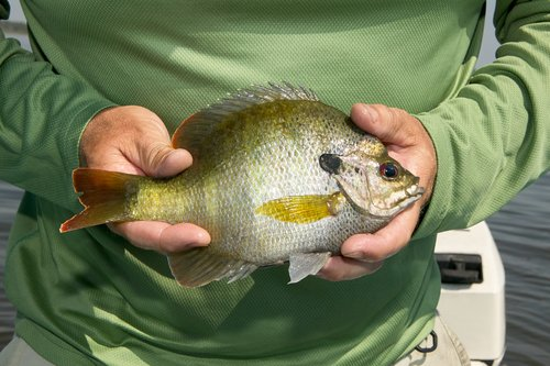 huge bluegill caught on the best panfish rod and reel combo