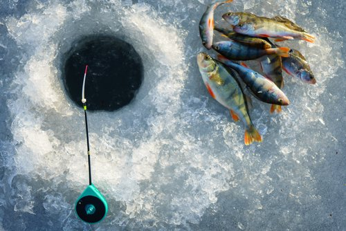 ice fishing hole and perch lying on the ice