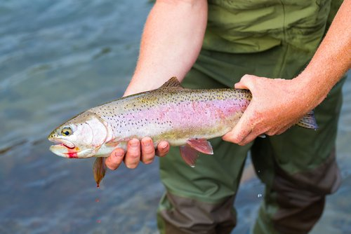 man holding rainbow trout in river