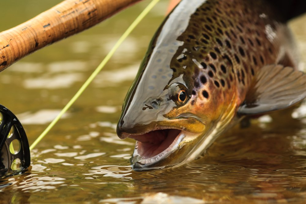 brown trout fly fishing idaho