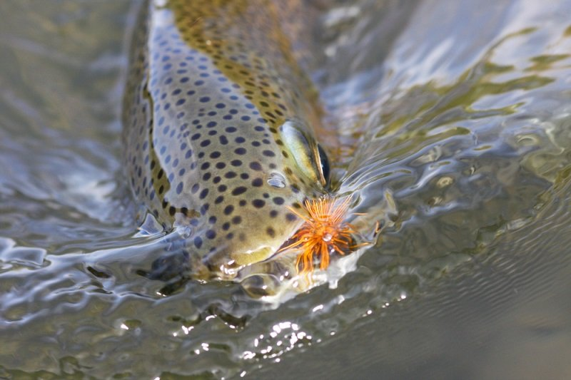 trout with fly in mouth