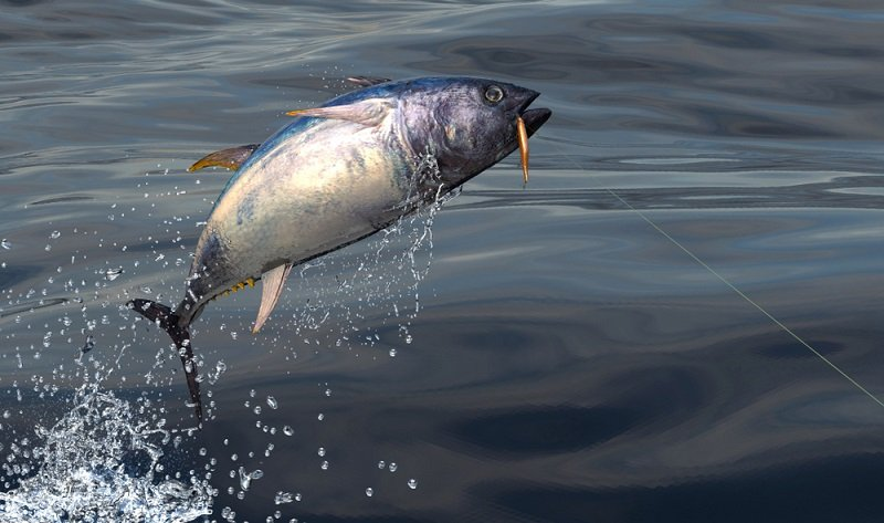 blue fin tuna caught with lure